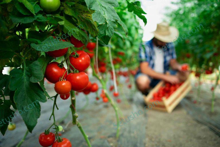 گوجه فرنگی و کشاورز ارگانیک در حال چیدن گوجه ارگانیک