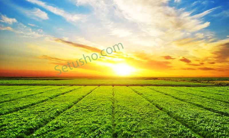 مزرعه چای هنگام غروب خورشید